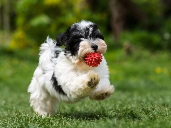 57894358 – playful spotted havanese puppy dog is running with a red ball in his mouth in a spring garden